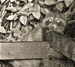 Waschbär(Procyon lotor(L. 1758)) am Komposthaufen