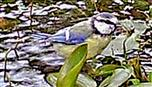 Blaumeischen(Cyanistes caeruleus(L. 1758)) trinkend oder badend