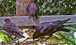 Kleinfamilie Saatkrähen(Corvus frugilegus(L. 1758))