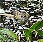 Zilpzalp bzw. Weidenlaubsänger(Phylloscopus collybita(Vieillot 1817))