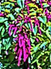 Garten-Amaranth(Amaranthus caudatus(L.))