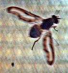 Zitterfliege(Toxoneura muliebris(Harris 1780))