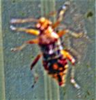 Nymphe einer Glasflügelwanze(Rhopalus subrufus(Gmelin 1790))