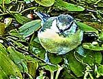 Blaumeise(Cyanistes caeruleus(L. 1758)) auf einem Tümpel 000