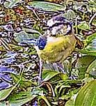 Blaumeise(Cyanistes caeruleus(L. 1758)) auf einem Tümpel 001