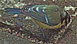 Blaumeise(Cyanistes caeurleus(L. 1758)) beim Futterpicken