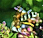 Weißbindige Furchenbiene(Halictus sexcinctus(Fabricius 1775))(männlich) beim Blütenbesuch