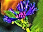 Blüte einer Berg-Flockenblume(Cyanus bzw. Centaurea monatana(L.) Hill)