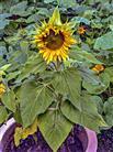 Kleinere Sonnenblume(Helianthus)