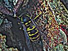 Arbeiterin der Deutschen Wespe(Vespula germanica(Fabricius 1793))