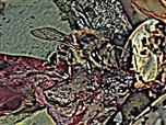 Westliche Honigbiene(Apis mellifera(L. 1758)) sich am Kompost stärkend
