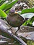Amselhahn(Turdus merula(L. 1758)) an einer Vogeltränke(Tümpel)