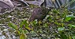 Amselhahn(Turdus merula(L. 1758)) auf einem Tümpel