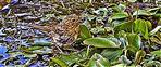 Rotkehlchen(Erithacus rubecula(L. 1758)) auf einem Tümpel