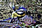 Blaumeise(Cyanistes caeruleus(L. 1758)) im Flug