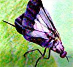 Weibliche Tanzfliege(Rhamphomyia marginata(Fabricius 1787))