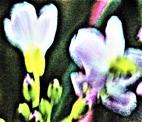 Blüten des Wiesen-Schaumkrautes(Cardamine pratensis(L.))