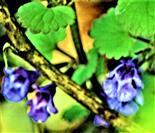 Blüten und Blätter eines Gundermanns(Glechoma hederacea(L.))