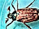 Feldmaikäfer(Melolontha melolontha(L. 1758))
