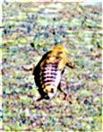 Nymphe einer Gemeinen Waldschabe(Ectobius lapponicus(L. 1758))