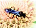 Wespenbiene(Nomada leucophthalma(Kirby 1802))