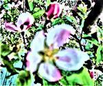 Blüte eines Kulturapfelbaumes(Malus domestica(Borkh.))