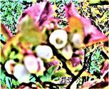 Blüten einer Kulturheidelbeere