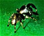 Männliche Kupfrige Sonnenspringspinne(Heliophanus cupreus(Walckenaer 1802))(Farbvariante)