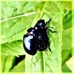 Himmelblauer Blattkäfer(Chrysolina coerulans(Scriba 1761)) kopulierend Mai2021