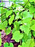 Knoblauchsrauke(Alliaria petiolata(M. Bieb.) Cavara & Grande)