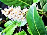 Kirschlorbeer(Prunus laurocerasus(L.))