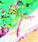 Riesenschnake(Tipula maxima(L. 1758))