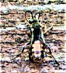 Wespenbiene(Nomada fabriciana(L. 1767))