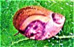 Gemeine Bernsteinschnecke(Succinea putris(L. 1758))