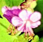 Gezüchtete Art Geranium mit einer rosafarbenen Blüte(Geranium cantabrgiense)