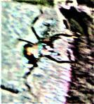Arbeiterin der Roten Waldameise(Formica rufa(L. 1761)) an einem Komposthaufen