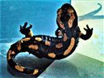 Junger Gebänderter Feuersalamander(Salamandra salamandra ssp. terrestris