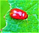 (Funfpunktiger) Blattkäfer(Gonioctena quinquepunctata(Fabricius 1787))