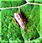 Blattwespe (Rhogogaster(chlorosoma(Benson 1943)))