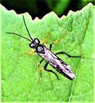 Blattwespe (Tenthredo moliniata(Klug 1817))