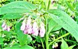 Futter-Beinwell(Symphytum x uplandicum(Nyman))