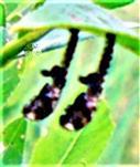 Puppenhülle(Exuvie) von geschlüpften Käfern(Weidenblattkäfer(Chysomela vigintipunctata(Scopoli 1763))