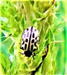 Farbvariante des Gefleckten Weidenblattkäfers(Chrysolina vigintipunctata(Scopoli 1763))