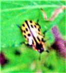 Weitere Farbvariante des Gefleckten Weidenblattkäfers(Chrysolina vigintipunctata(Scopoli 1763))