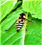 Gemeine Garten-Schwebfliege(Syrphus ribesii(L. 1758))