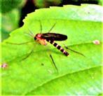 Pilzmücke(Symmerus annulatus(Meigen 1830))