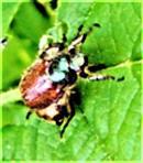 Gartenlaubkäfer(Phyllopertha horticola(L. 1758)) nach einer Kopulation