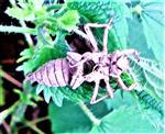 Exuvie(Haut) einer Larve(Nymphe) einer Großlibelle(der Gattung Aeshna)