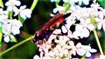Gemeine Sandwespe(Ammophila sabulosa(L. 1758))