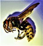 Hornisse(Vespa crabro(L. 1758))(gestorben unter einem Dach)(Arbeiterin)